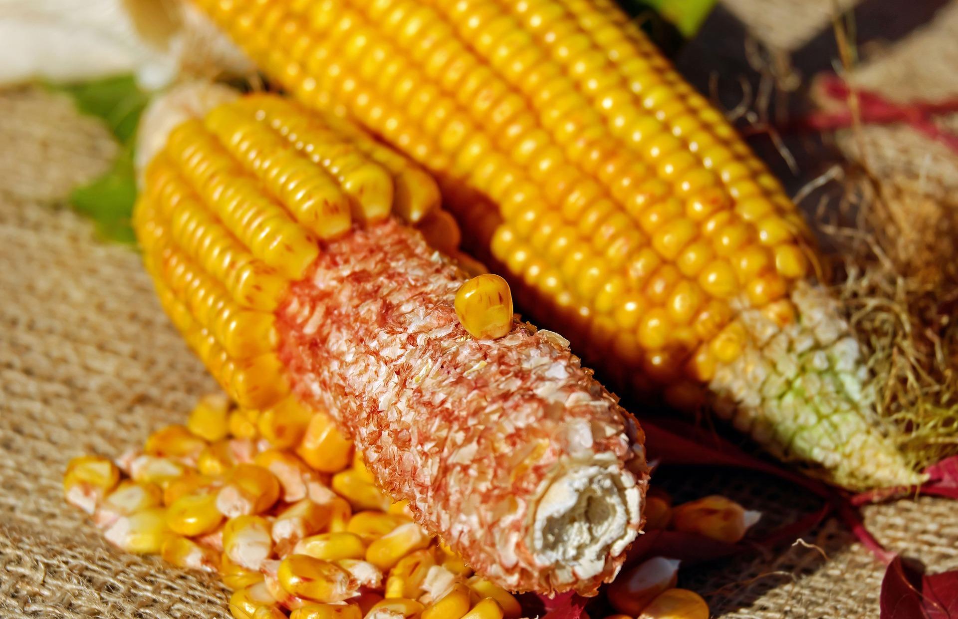 corn-1722245_1920